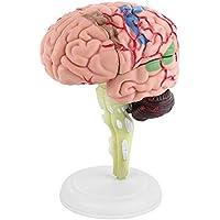 4D Modelo de Cerebro, Desmontable Modelo de Anatomía, para Enseñanza y Aprendizaje