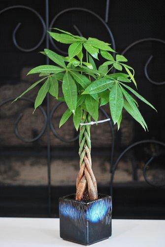 9Greenbox–5Geld Baum Pflanzen geflochten in 1Baum–Topf Keramik