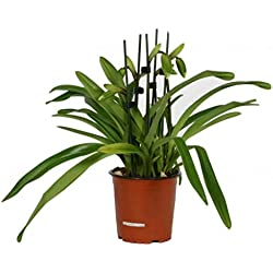 FloraStore - Paphiopedilum Zweig Florida 2 (1x), Höhe 40 CM, Topf 12 CM, Zimmerpflanze