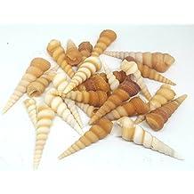 Shells4U Turritella - Cenizas Naturales para Manualidades y decoración, Conchas de mar, pequeñas Conchas
