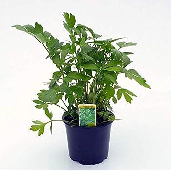 Spearmint im 2 Pflanzen im 12 cm TopfWürzpflanzeKüchenkräuter