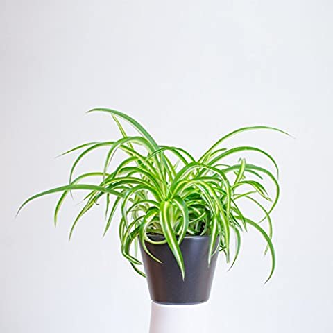 Chlorophytum - Green Spider Plant - Chlorophytum comosum / airplane plant / St. Bernard's lily / in 12 cm Pot / Indoor house Plant for Home and Office / easy care