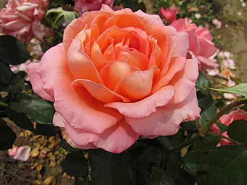 Shop Meeko LADY LOVELY - Hybrid Rose Garden racines nues Bush - Grande Classiquement Fleurs roses en forme Parfumée - grand cadeau