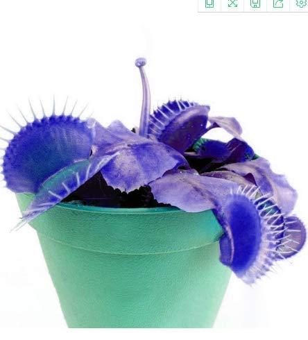 KINGDUO 100 PCs jardin en pot bleu insectivores plantes graines rares Dionaea muscipula Flytrap bonsaï