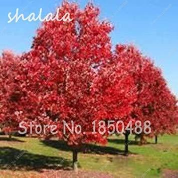 vegherb 10 pc/sacchetto rosso quercia quercus alba ombra acorn semi bonsai seeds giardino delle piante ornamentali crescita naturale 1