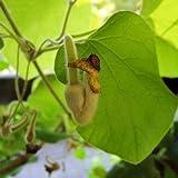 Pfeifenwinde - Aristolochia - Großblättrige Kletterpflanze