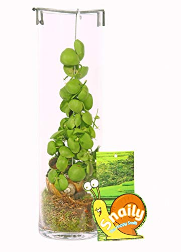 Dischidia Snaily Urnenpflanze