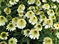 Sonnenhut 'Milchshake' ® - Echinacea purpurea 'Milchshake' ® - Staude von Staudengärtnerei auf Du und dein Garten