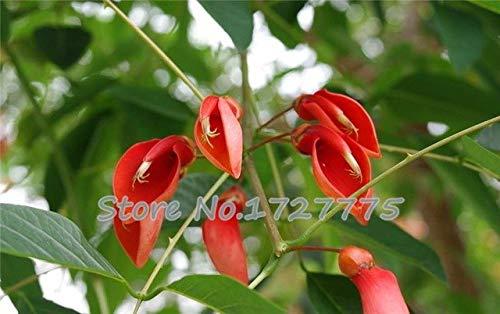 Green Seeds Co. Véritable bonsaï! 50 pcs/lot Erythrina Crista Galli, plantes arbustives brésiliennes belle fleur bonsaï plante bricolage maison jardin shippi gratuit: noir