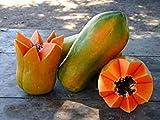 Pinkdose® Meradol Miradol Caribbean Red Caribbean Sonnenaufgang Papaya Pflanze 20 Samen große Frucht