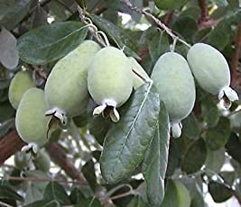 Rare PINEAPPLE GUAVA plant seeds