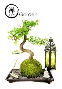 Zen Garden Kit With Live Bonsai Plant Wrapped In A