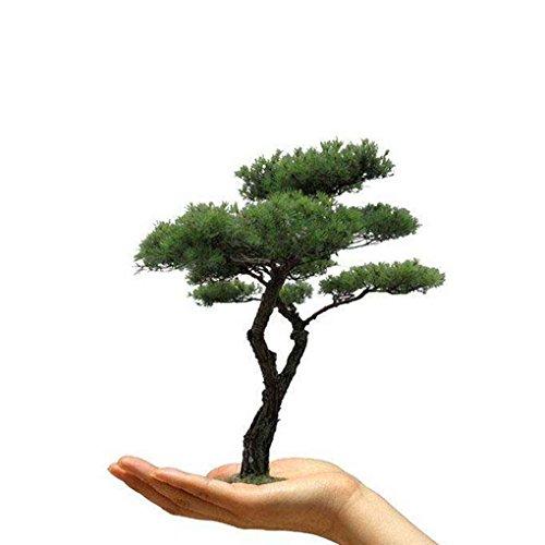 shangjunol 50pcs / Beutel Kiefer Samen Balkon Bonsai-Baum-Pflanzen Samen f¨¹r Hausgarten Einpflanzen
