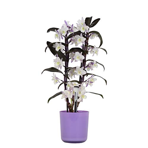 Orchidee von Botanicly - Bambus Orchidee lila mit violettem Übertopf als Set - Höhe: 50 cm, 2 Triebe - Dendrobium nobile \'Apollon\'