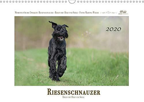 Riesenschnauzer - Riesen mit Herz und Seele (Wandkalender 2020 DIN A3 quer): Schwarze Riesenschnauzer - fotografiert im perfekten Moment (Monatskalender, 14 Seiten ) (CALVENDO Tiere) -