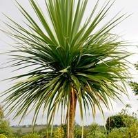 Il vous suffit de graines???Graines de fleurs???Cordyline Australis???50???Palm