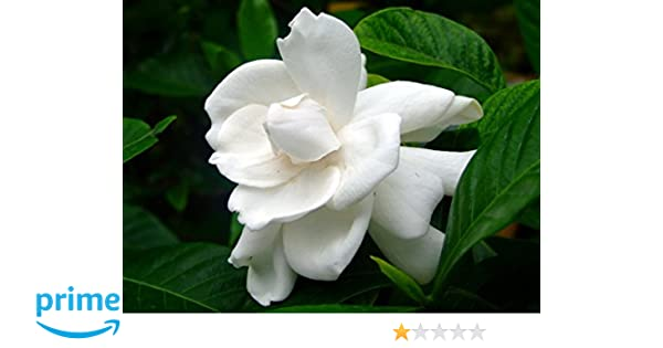Nelesa Gardening Live Gardenia Cape Jasmine Gandhraj Plant Amazon