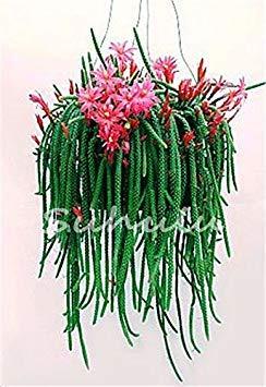 geoponics 200pcs potteds epiphyllum seme semi balcone bonsai per il giardino e la casa quattro stagioni di semina facile da coltivare 4