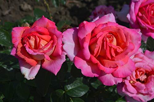 Chicago-Frieden Premium-Rose - by Farmerly