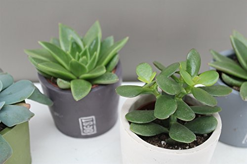 modern-ceramic-potted-succulents-ideal-gift-present-for-anyone-excellent-for-displaying-in-the-offic