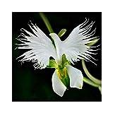 AUTFIT Japanische Radiata 100 stücke Samen Weiße Reiher Orchidee Pflanze Blumen Samen für Bonsai, Garten, Hof