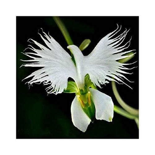 Semi di Raduga, AUTFIT Giapponese Egretta Bianca Piante di Orchidee Semi di Fiori per Bonsai, Giardino, Cortile (100pcs)