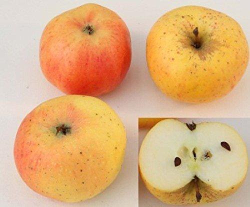 Apfelbaum Stina Lohmann 60-80cm – fest und edel