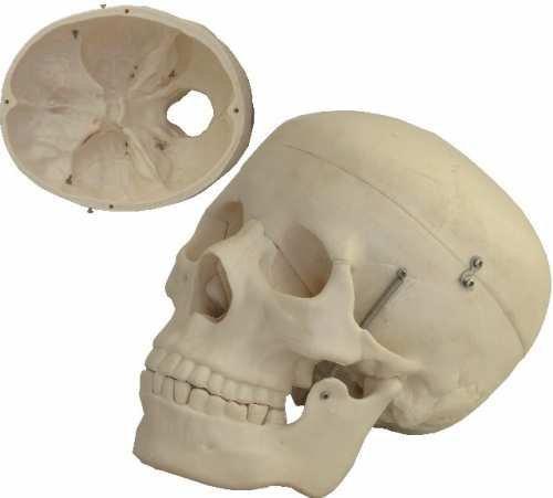 l Anatomie Modell für Lehrzwecke Kopf Knochenmodell Lebensgroß mit abnehmbarer Schädeldecke Knochen ()