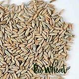 Semillas de centeno ecológicas para germinar (1Kg)