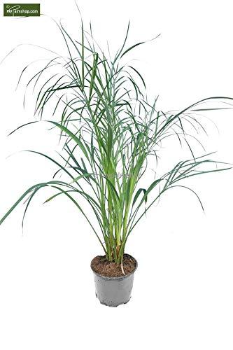 Phoenix roebelenii, Palme, Zwergdattelpalme - Gesamthöhe: 50-70cm, Topf: Ø 14cm multitrunk