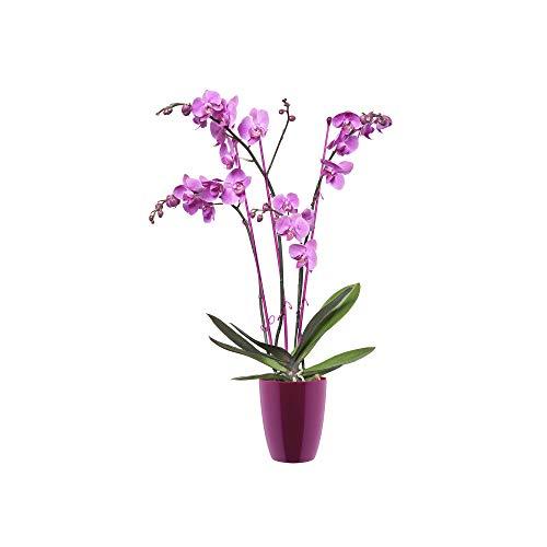 Elho Brussels Diamond Orchidee Hoch 12,5 - Blumentopf - Kirsche - Drinnen  - Ø 12.7 x H 15.2 cm