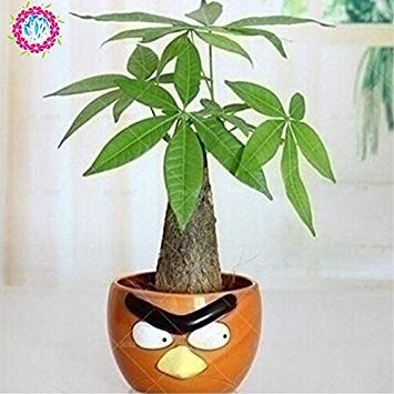 vegherb 1 Samen/Beutel Pachira Macrocarpa, Pachira Samen, Pachira Aquatica, Bonsai-Baum-Samen, Topfblumensamen Geld-Baum-Hausgarten Pflanze - Pachira Aquatica Bonsai