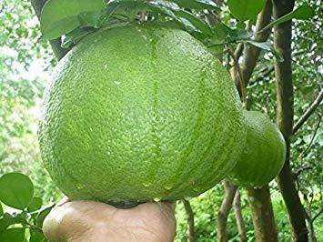 Samen Keimung: 30 Süße Pomelo Seeds - Pummelo - Citrus Maxima Samen White D568