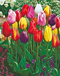 50 Edel-Schnitt-Tulpen Harmonie, Komplett-Set