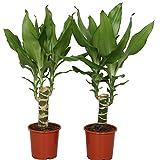 Choice of Green -2 Dracaena Dracena o drago albero-pianta della camera in Pot coltivatore ?11 cm-altezza ? 40 cm