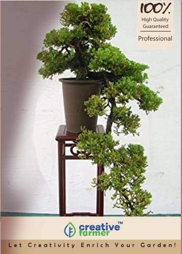 Pinkdose Indischer Palisander Bonsai-Baum-Samen Seed