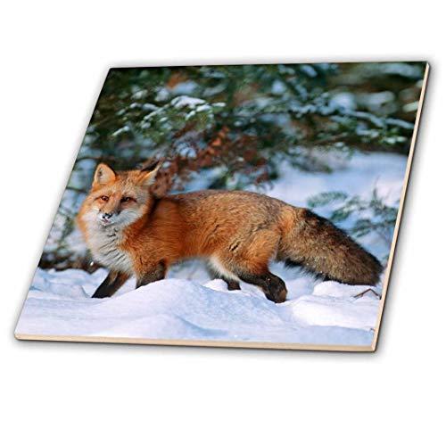 3dRose Captive rot Fox Walking in Schnee in Winter, Montana Fliesen, 30,5x 30,5cm
