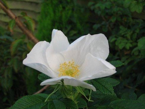 Weiße Apfel-Rose im Topf/Container 60 - 80 cm