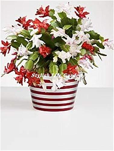 honic 100 pc/sacchetto schlumbergera flores plantas di cactus di natale, bonsai impianto per la casa e il giardino, colore misto zygocactus, facile da impianto: 24