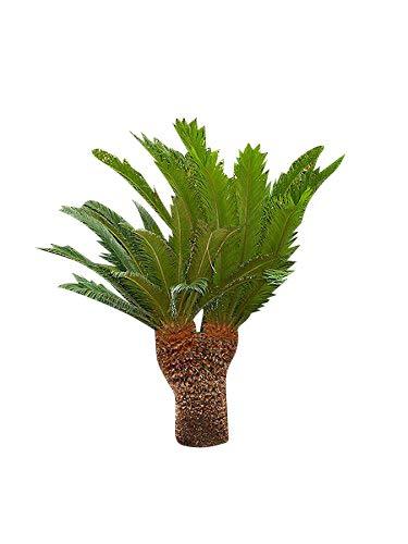 Wunderschöne ★Cycas Palme★ -Cycas revoluta- 10 frische Große Samen ★★★ Japanischer Palmfarn★★★