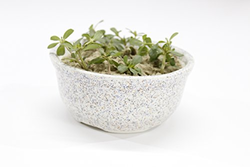 PORT REGALO Ceramic Bowl Planter(white) (Without Plant) (With Organic Soil)