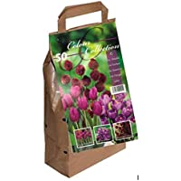 Colour Collection Spring Flower Bulbs - Purple (Pack of 50)