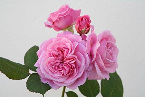 Parfuma 222-31