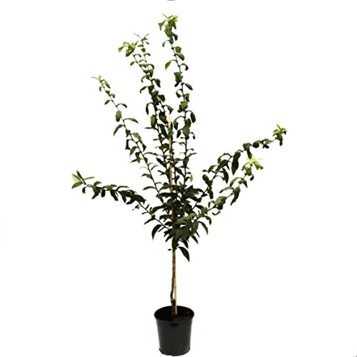 Grüner Garten Shop Nottingham veredelte Mispel Mispelbaum Mespilus germanica 120-150 cm Pflanze im 9,5 Liter Topf