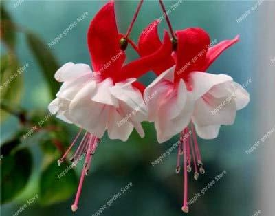 honic 100 pezzi blu doppio petali fucsia flores, bonsai balcone fiore fucsia piante in vaso hanging fuchsia fiori, facile da coltivare: 8