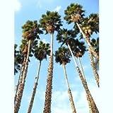 WASHINTONIA ROBUSTA mexikanische Fächerpalme Zier Palmen Pflanzensamen 100 Samen