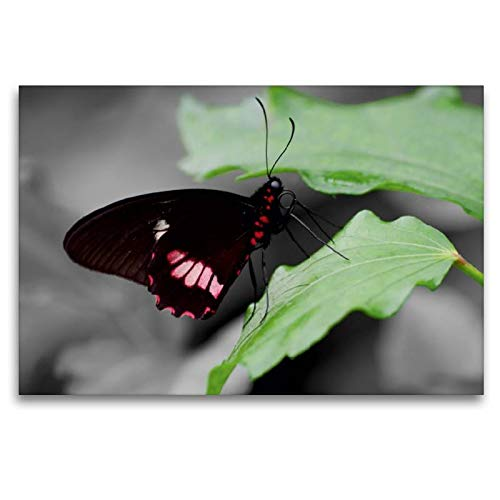 Calvendo Premium Textil-Leinwand 120 cm x 80 cm quer EIN Motiv aus dem Kalender Zarte Schönheiten - Exotische Schmetterlinge in ColorKey   Wandbild, Bild auf Malaysia (Papilio Memnon) Tiere Tiere