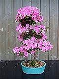 VISTARIC Promozione 100 Sera Primula Blau Nachtkerze, duftend Fai da Te Hausgarten Blume ROBUSTE Pflanze, Nur samen