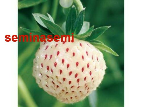 50 semi di fragola bianca  semi rari