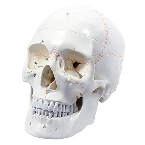 S24.2110 Anatomisches Schädel - Modell, 3-teilig,